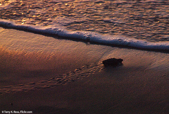 Sea Turtle Hatchling Headed Toward Ocean