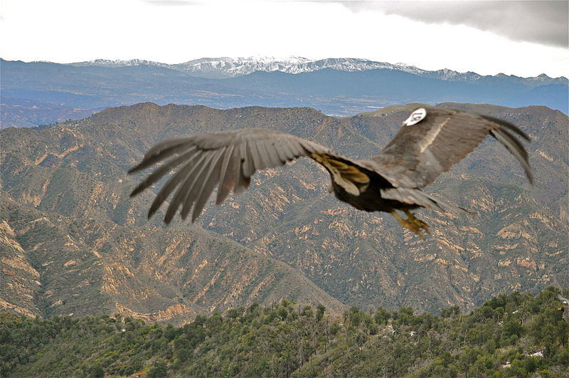 California Condor: Back from the Brink? | The Student Conservation ...