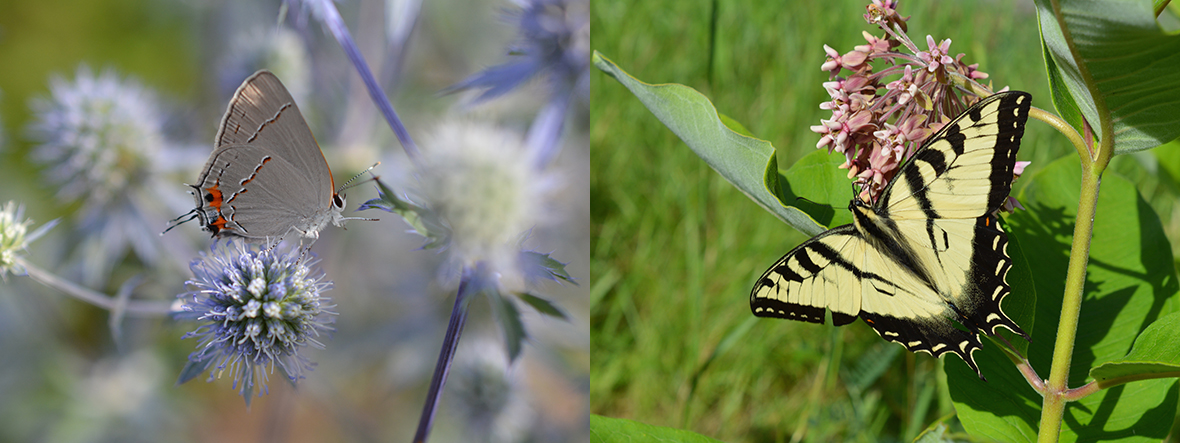 A Hairstreak and a Yellow Swallowtail. Photo by Tim Stanley/Native Beeology