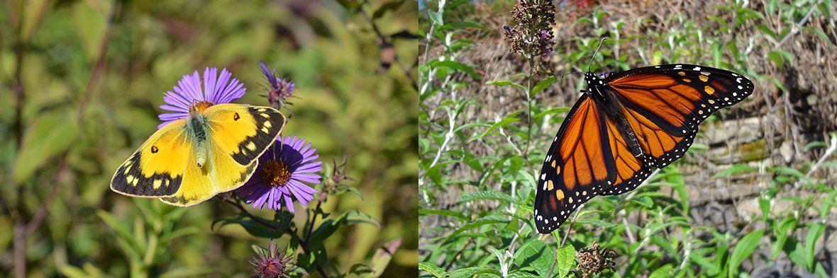 A Orange Sulphur Aster and A Monarch. Photo by Tim Stanley/Native Beeology