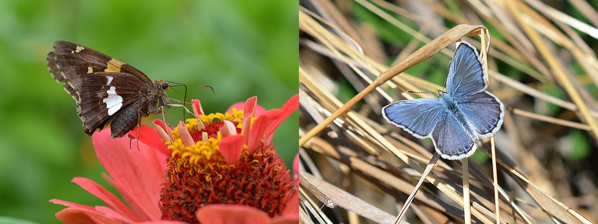 A Silver Spotted Skipper and a Karner Blue. Photo by Tim Stanley/Native Beeology.