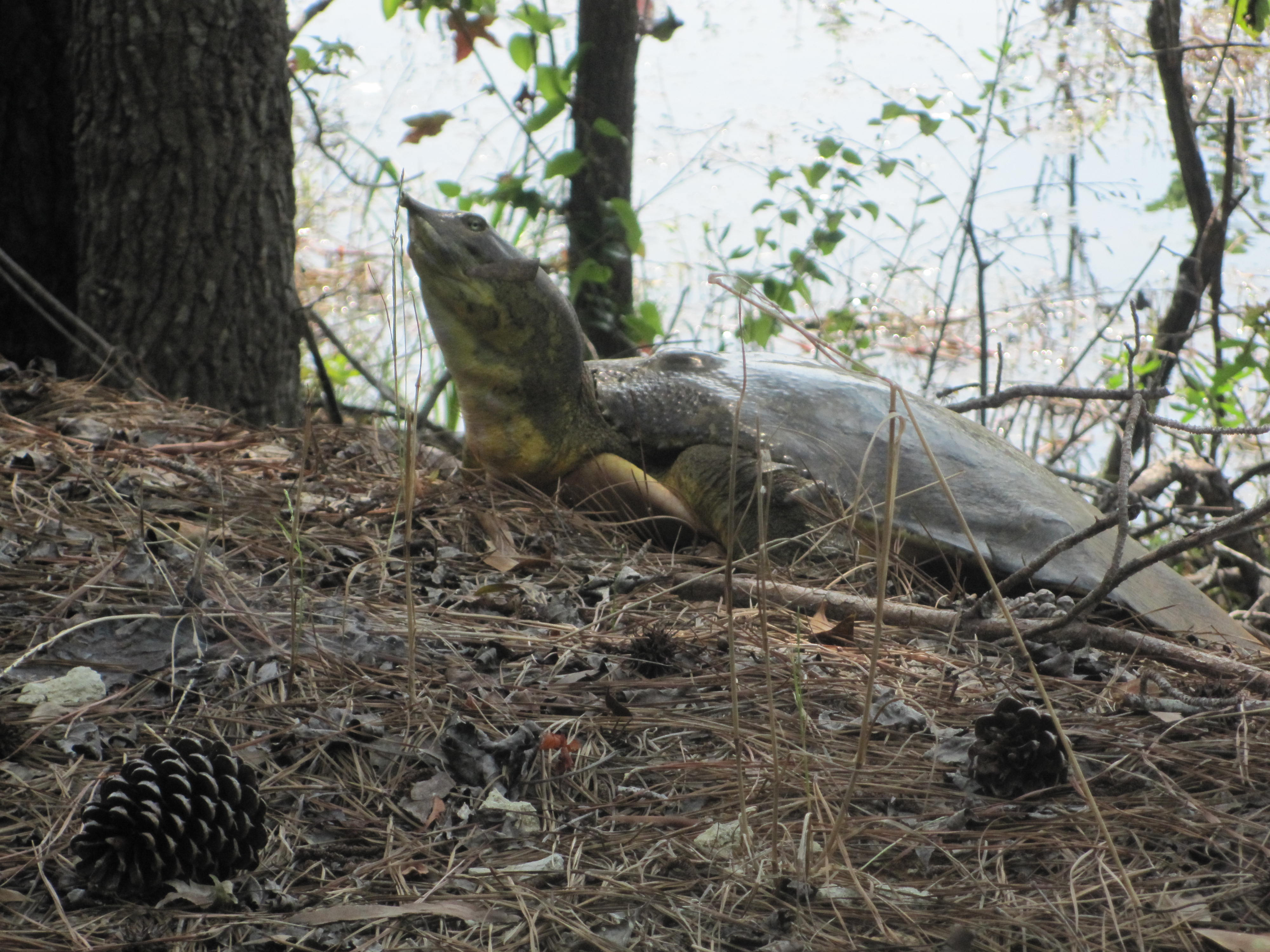 Soft shell turtle neck - photo#24