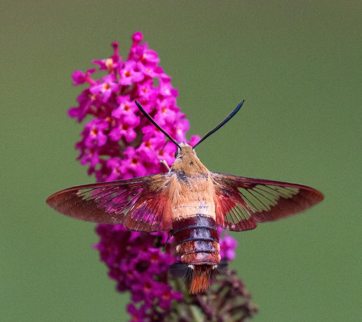 Hummingbird moth pollinating long-necked flower
