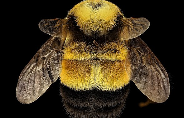 Bumblebees Vs Honeybees Whats The Difference And Why Does It