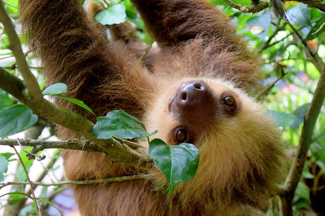 Sloth in the Costa Rican rainforest