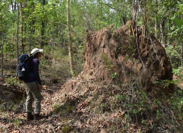 As we hiked through Satpura NP, we crossed the largest termite mound either of us had ever seen