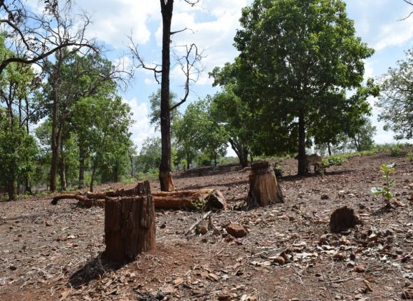 A couple large trees cut down in area outside a Protected Area