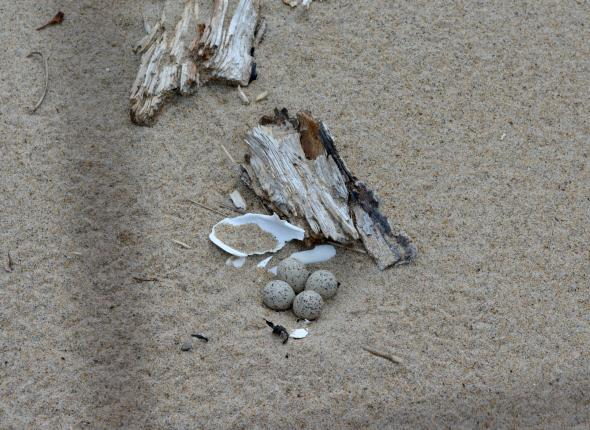 Piping plover nest inside the exclosure