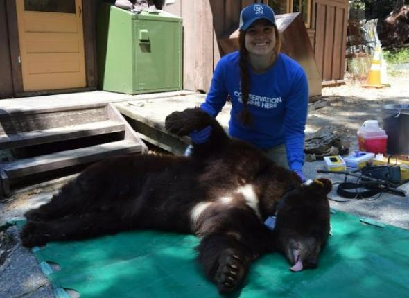 SCA Bear Management Intern Dakota McCoy puts a GPS Collar on a 9-year-old male bear named Blue 54