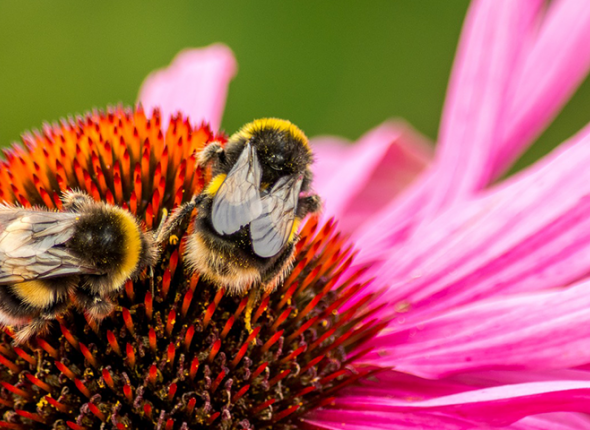 Bumblebees on a flower.