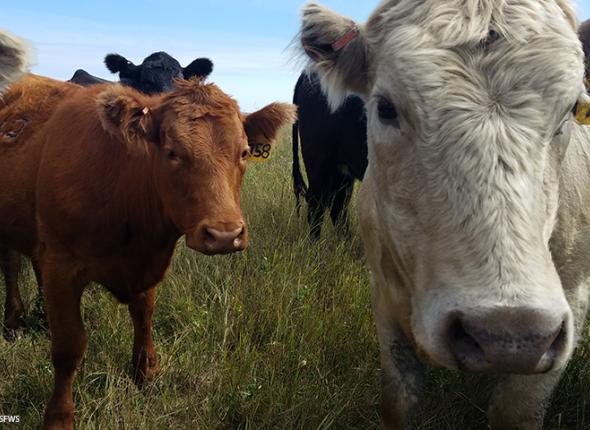 Cattle on Kroll Waterfowl Production Area in North Dakota by Krista Lundgren, USFWS.