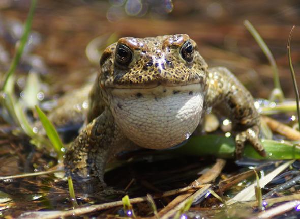 Yosemite Toad by Rick Kuyper, USFWS