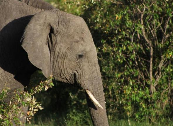 An elephant in the Maasai Mara National Reserve in Kenya