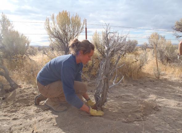 Sarah carefully planting a dead sagebrush