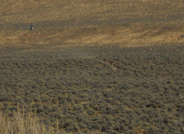 A helicopter herding some wild horses
