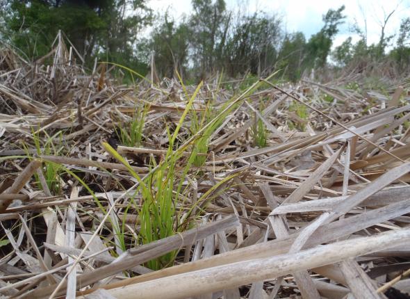 Carex stricta