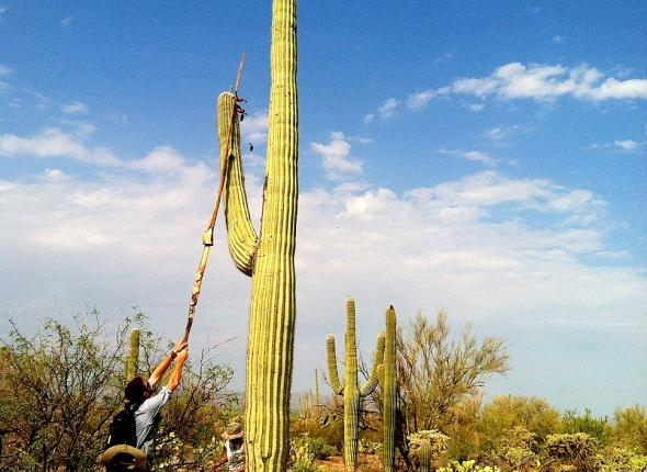 Harvesting Saguaro fruit