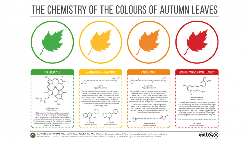 A graphic that explains the chemistry of the bright colors of autumn leaves and fall foliage.