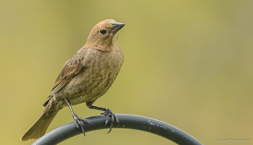 Female brown-headed cowbird by Barry Cruver.