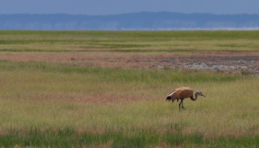 Sandhill Crane Wikipedia >> Welcoming Cranes Back To Cowles Bog The Student Conservation