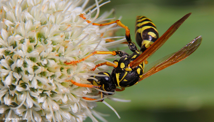 European Paper Wasp by Dan Mullen