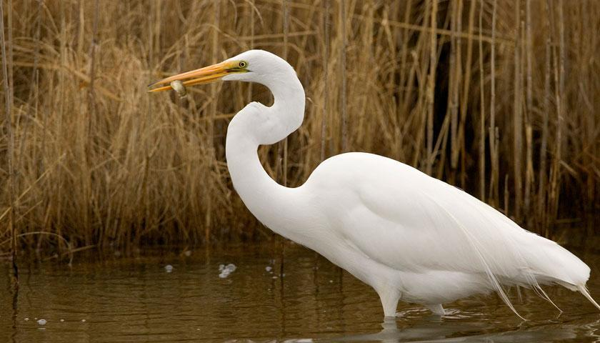 Great Egret Tracking at John Heinz NWR | The Student