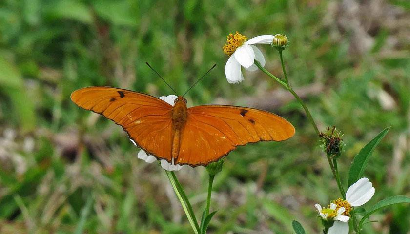Florida Leafwing Butterfly - one of many species being studied by SCA members in the field