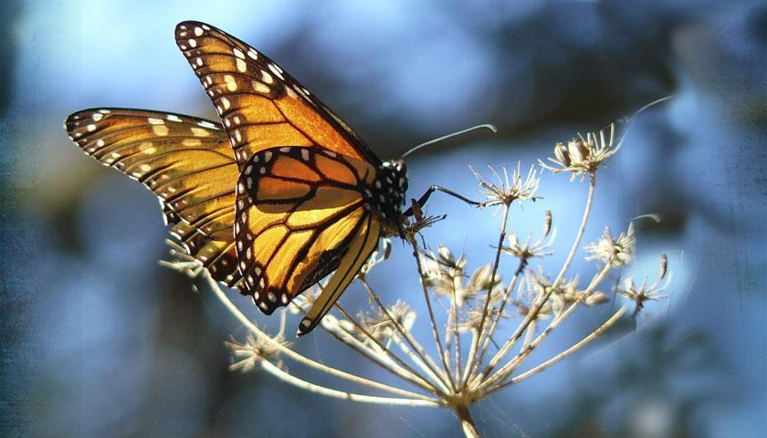 SCA Members have been working to protect monarch habitat all over the nation. Photo by docentjoyce via a CC license