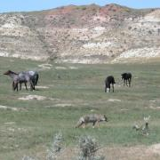 Coyote and feral horses at Theodore Roosevelt National Park in North Dakota where SCA Interns are working