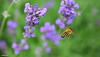 Bee Flying Near Lavender