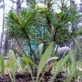 Baby White Bark Pine!